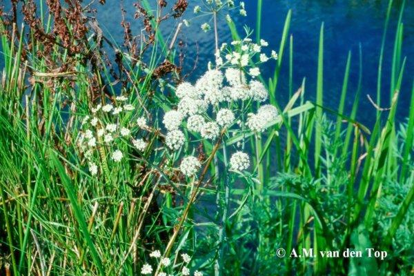 Waterscheerling (6)