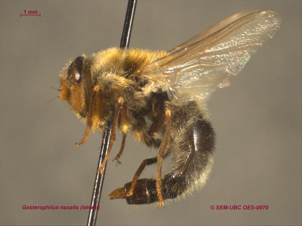 Gasterophilus nasalis (Biodiversity Center)