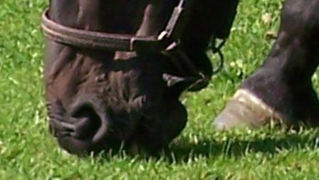lintworm mijt grazend paard
