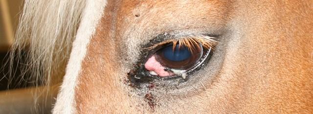 Oogproblemen paard derde ooglid tumor,cerdikking en pussige uitvloeiing 2