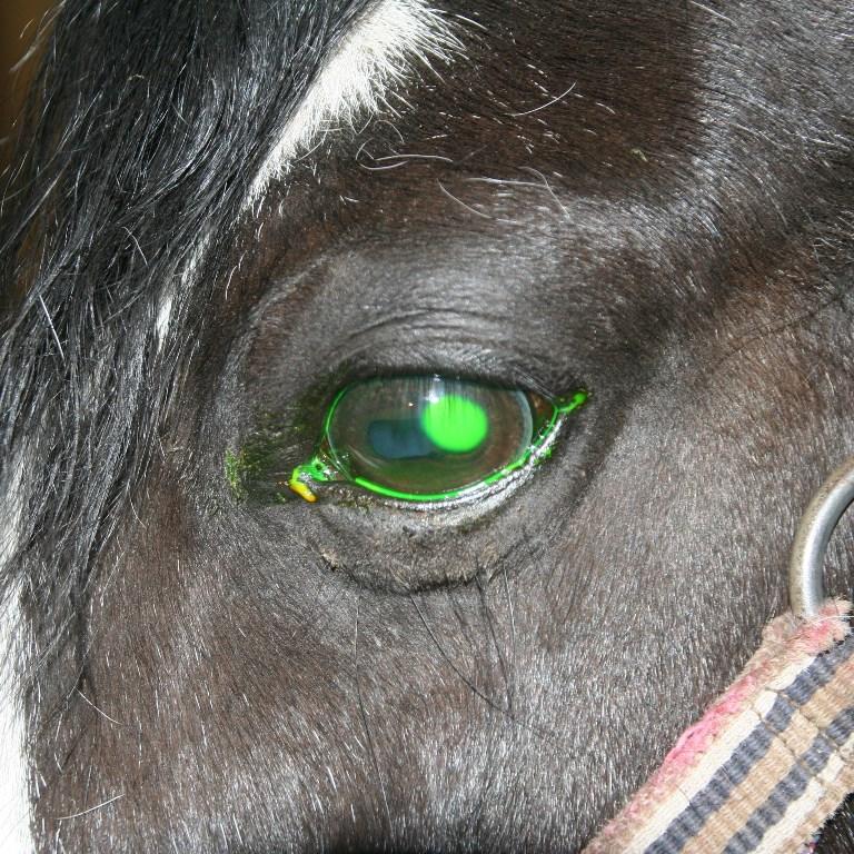 Oogproblemen paard hoornvliesbeschadiging fluoresceine effect 2