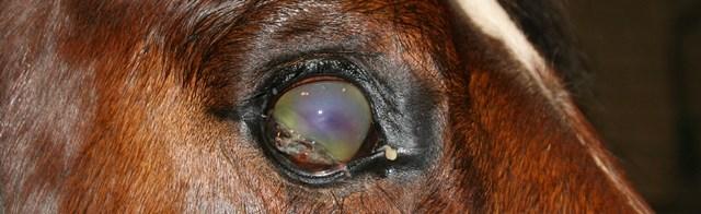 Oogproblemen paard scheur in hoornvlies 2