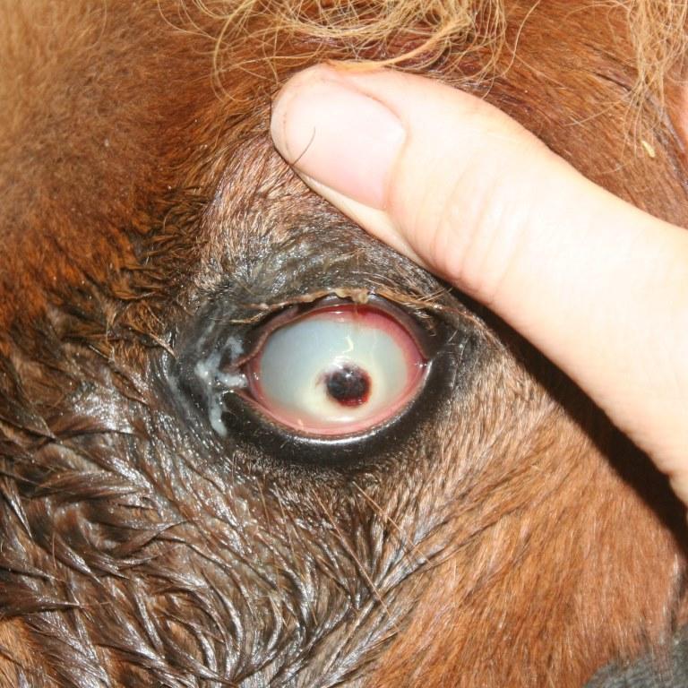 Oorproblemen paard ernstige hoornvliesbeschadiging, gaatje, bloedvatingroei 2