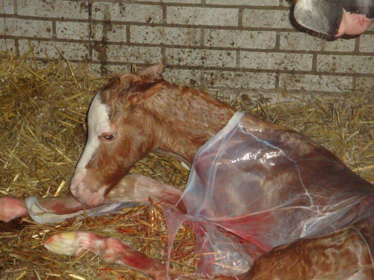 Pasgeboren veulen na normale dracht