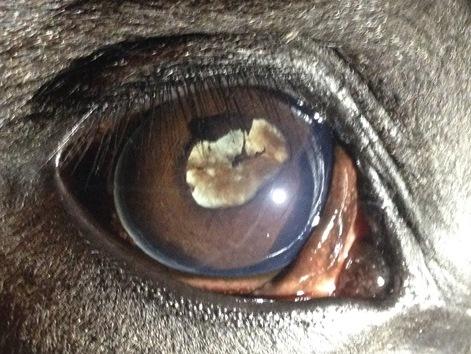 duidelijke-afwijkingen-aan-de-lens-na-een-maanblindheidsaanval