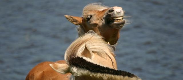 kuddegedrag: paarden bijten