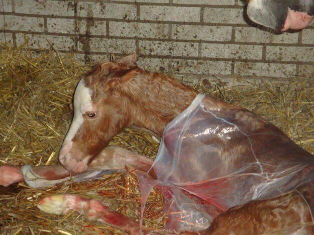 Pasgeboren-veulen-k