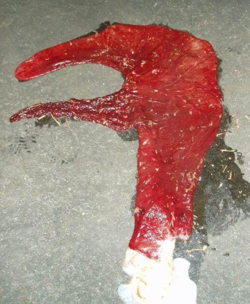 Placenta zoals deze in de baarmoeder van de merrie zou liggen.