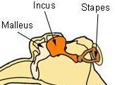 malleus, incus, en stapes