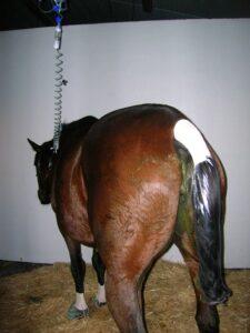 Paard met ernstige diarree krijgt vloeistof via een infuus