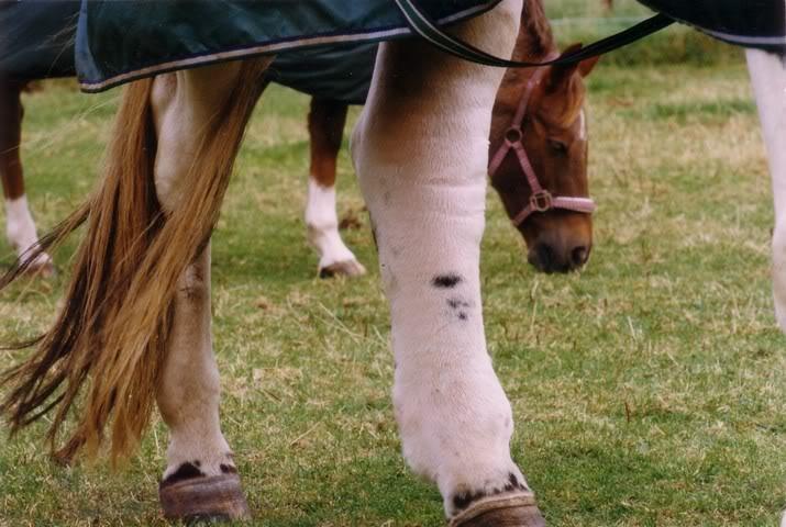 Einschuss ernstig, olifantsbeen paard
