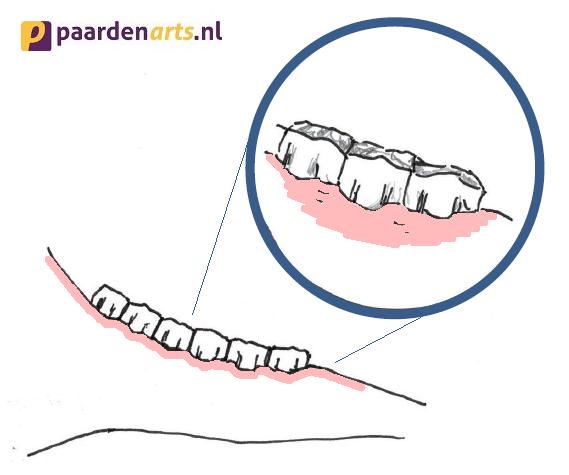 Normale positie kiezen paard in de onderkaak - Paardenarts.nl