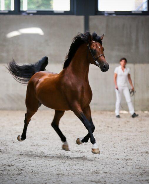 Arabisch Volbloed paard - Anna Lagendaal