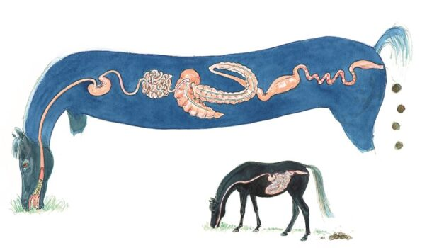 Illustratie paard met maagdarmkanaal (door M. Felius) small