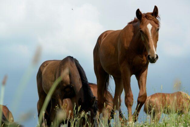 Paarden grazen in kudde