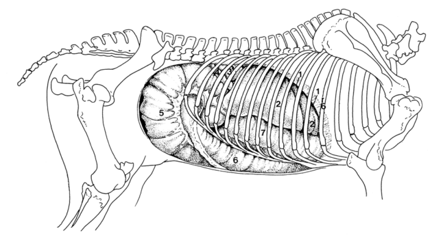 rechter aanzicht buik paard (Hoofdafd.Vet. Anatomie en Fysiologie, Fac. Diergeneeskunde, UU)small