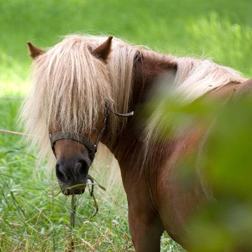 shetland pony gras eten - weidemanagement