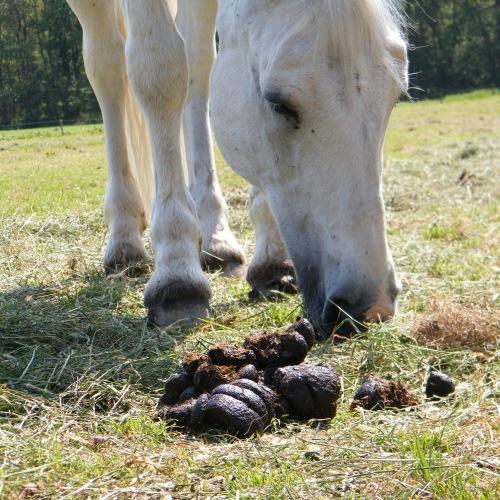 weidegang paarden - risico's - Paard graast vlakbij mest