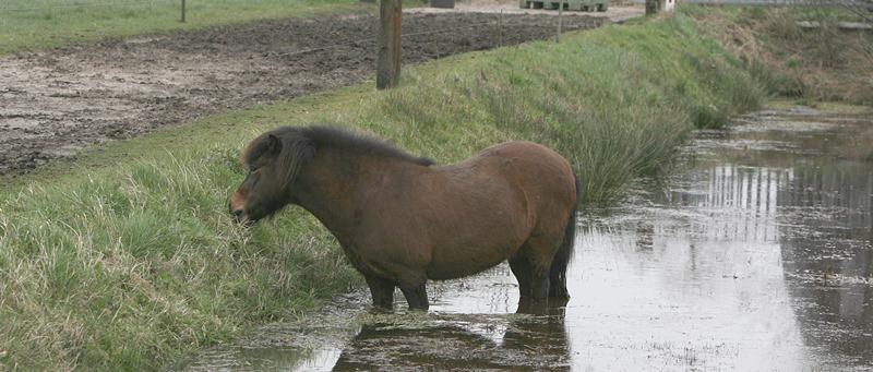 weidegang voor je paard - pony graast kant vijver (foto - Anneke Hallebeek)