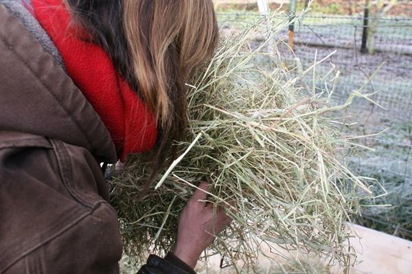 paardenarts-nl-anneke-hallebeek-paardenvoeding-koliek-ruiken-aan-ruwvoer-bederf-in-hooi-en-kuil-herkennen