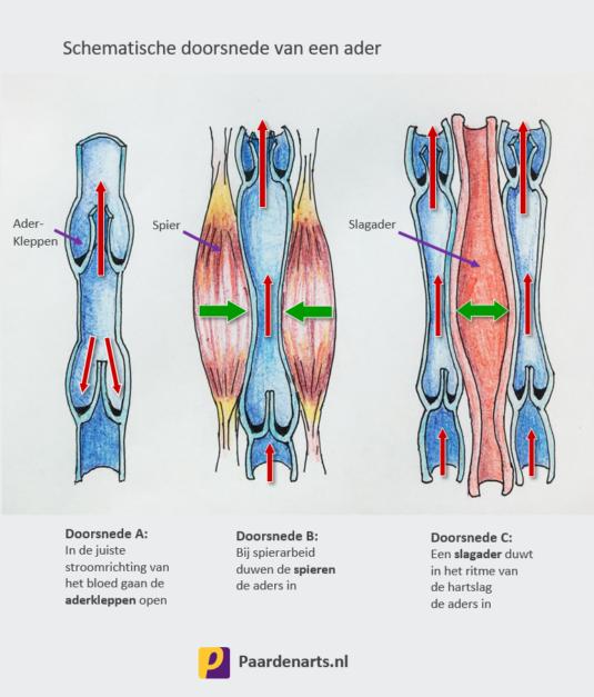 schematische doorsnede van een ader en aderkleppen