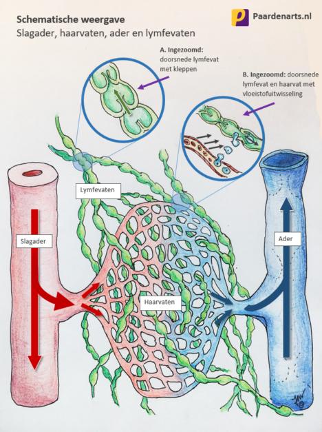Schematische weergave slagader, haarvaten, ader en lymfevaten - paard