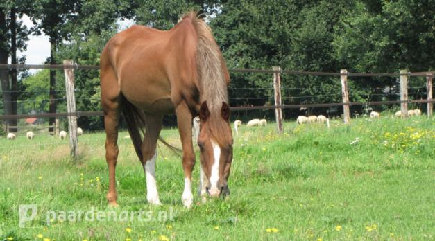 Paardenarts.nl_voeradvies seniorpaard_paard in weide