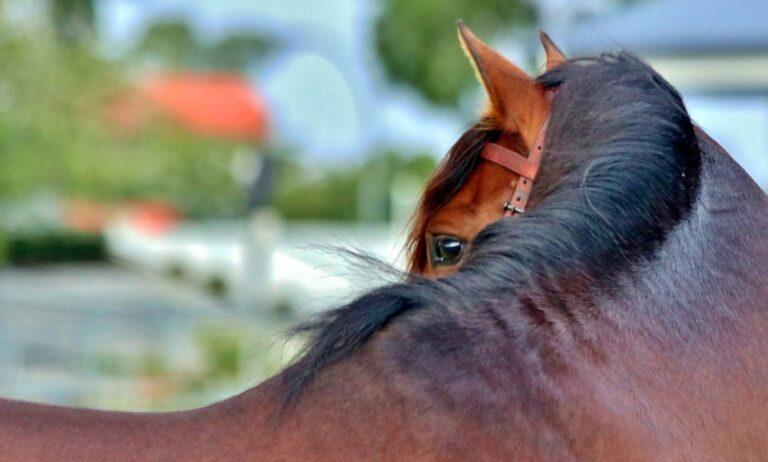 Voeding bij (sport)paarden met spierproblemen _header