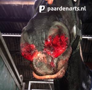 Paardenarts.nl - Luchtwegproblemen paard - Afb 9 bloedneus (foto Thibault Frippiat)_.jpg