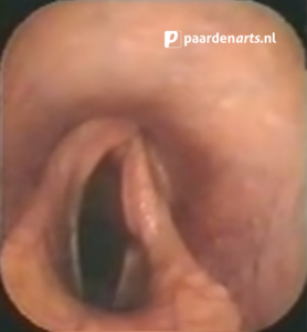 Paardenarts.nl - luchtwegproblemen paard - afb. 4 cornage endoscopie (foto Thibault Frippiat)