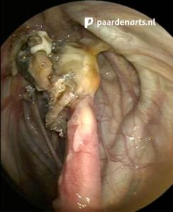 Paardenarts.nl - luchtwegproblemen paard - afb. 9 schimmelinfectie in de luchtzakken (foto Thibault Frippiat)