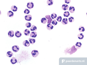 Paardenarts.nl - paardenastma-Longspoelsel - Neutrofiele granulocyten - Thibault Frippiat - afb7